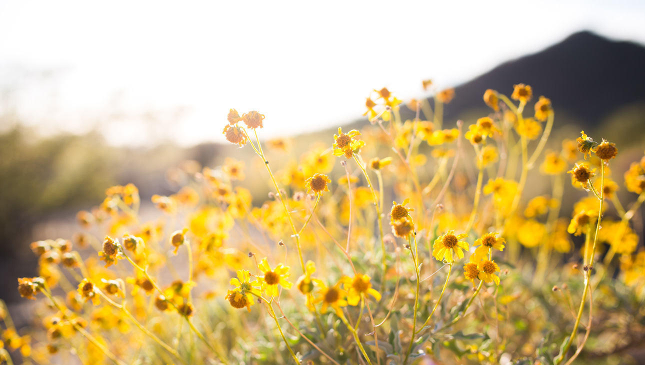 Field Of Yellow Daisies In The Sunshine.